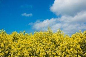 Champ de plants de moutarde